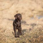 Hondenfotograaf Katwijk - Fotoshoot voor een Labrador pup