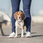 Hondenfotograaf Rotterdam - Fotoshoot voor een Beagle pup in de stad