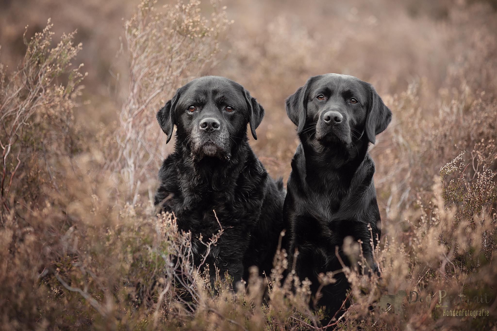 Hondenfotograaf bergen op zoom - labradors op de hei