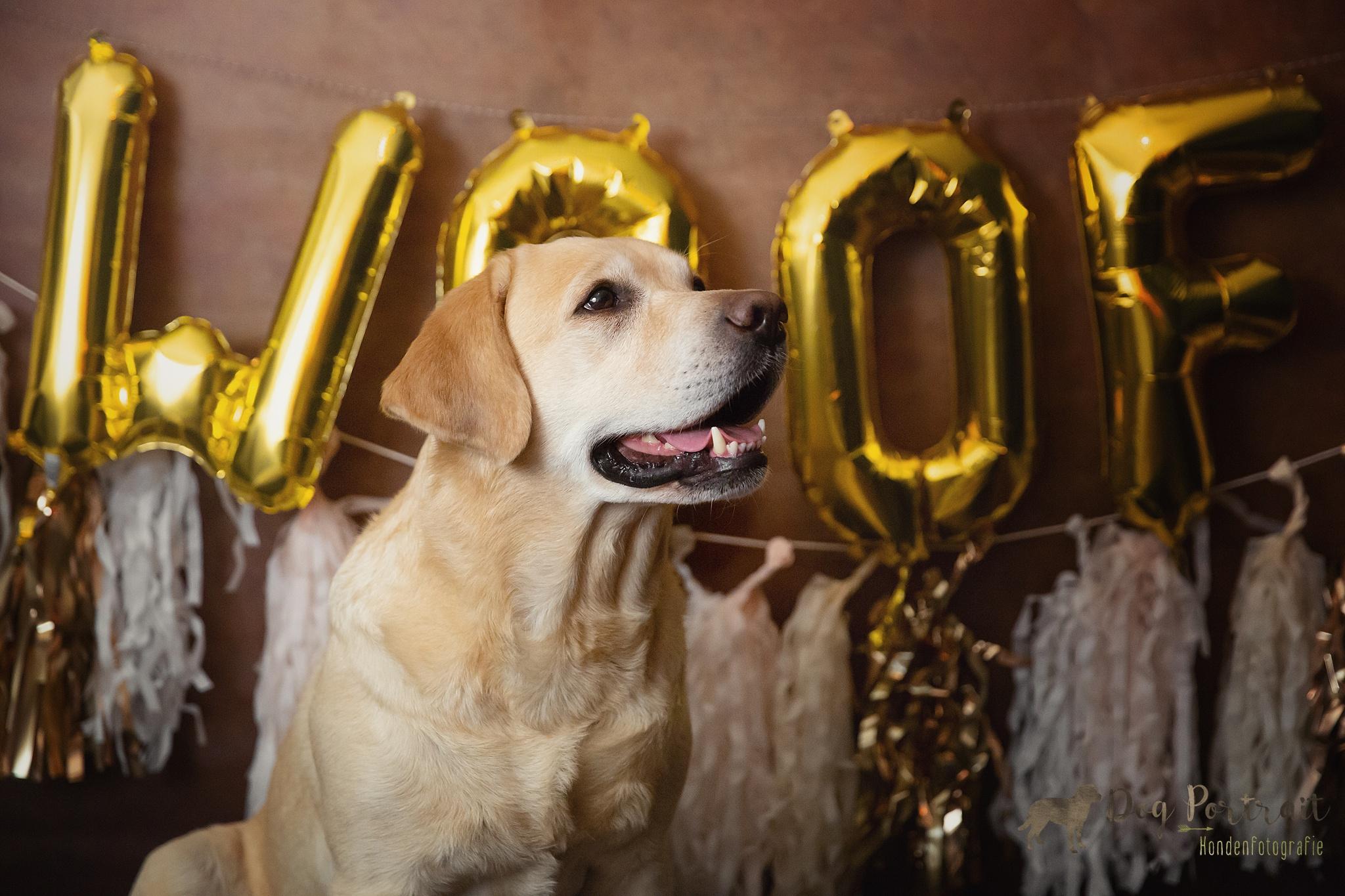 Verjaardagsfotoshoot Labrador Freyja – Doggy Birthday Party
