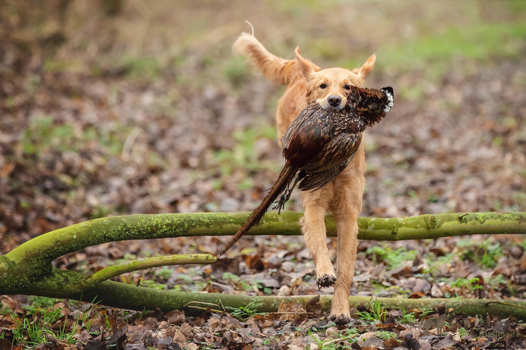 Hondenfotograaf Noord-Brabant – NLV & WFRG Koudwildtest 2020 te Klundert