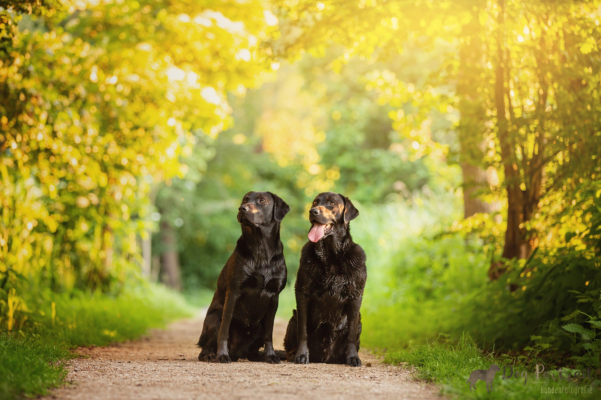 Hondenfotografie Waddinxveen - Labradors Tygo en Balou