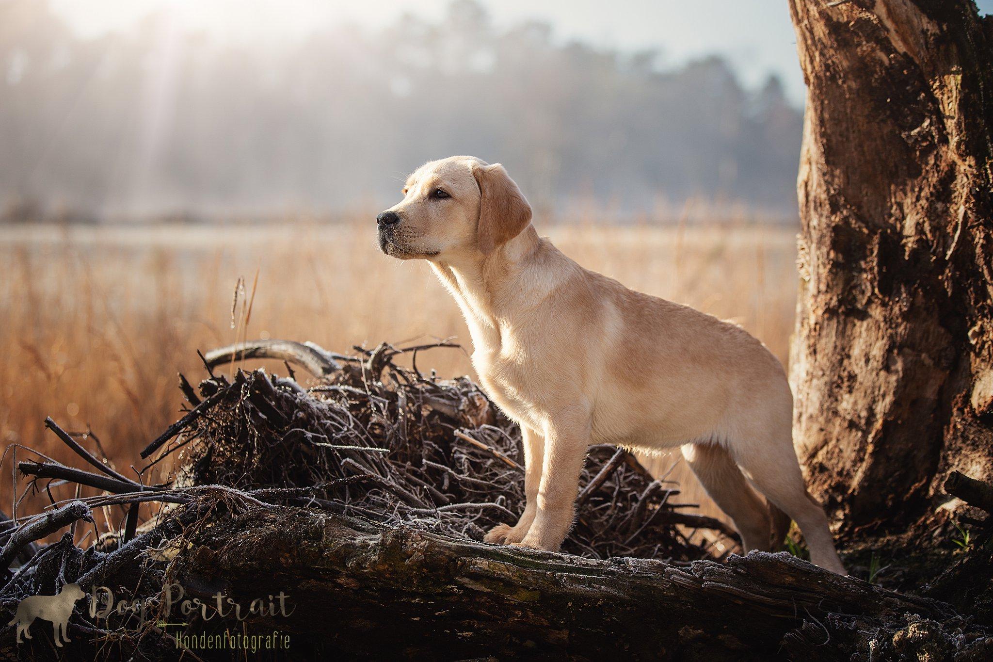 Hondenfotografie Bergen op Zoom - Labrador Napa