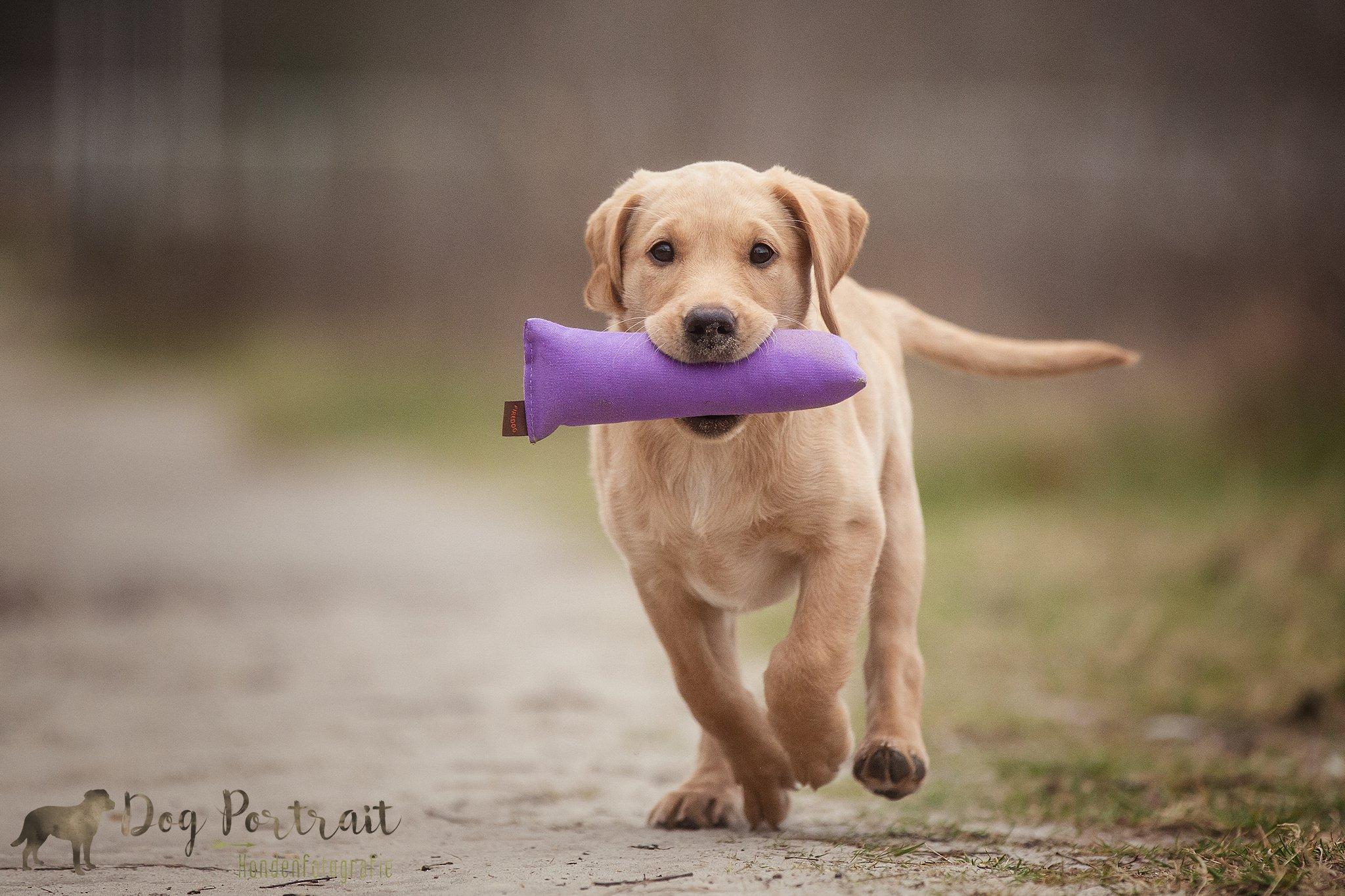 Honden Fotograaf Bergen op Zoom - Labrador Noa