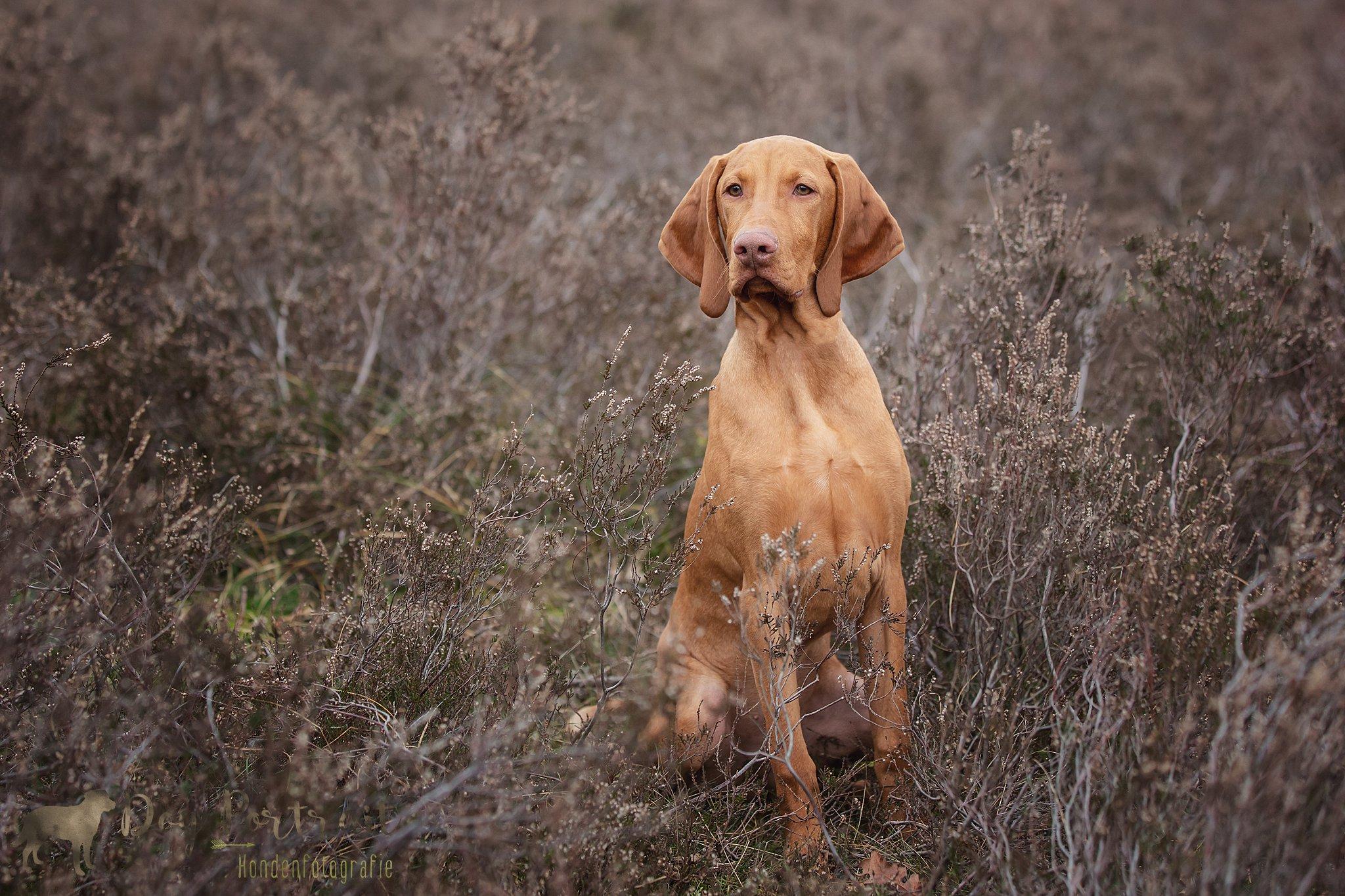 Hondenfotograaf Bergen op Zoom - Vizsla Bajnok