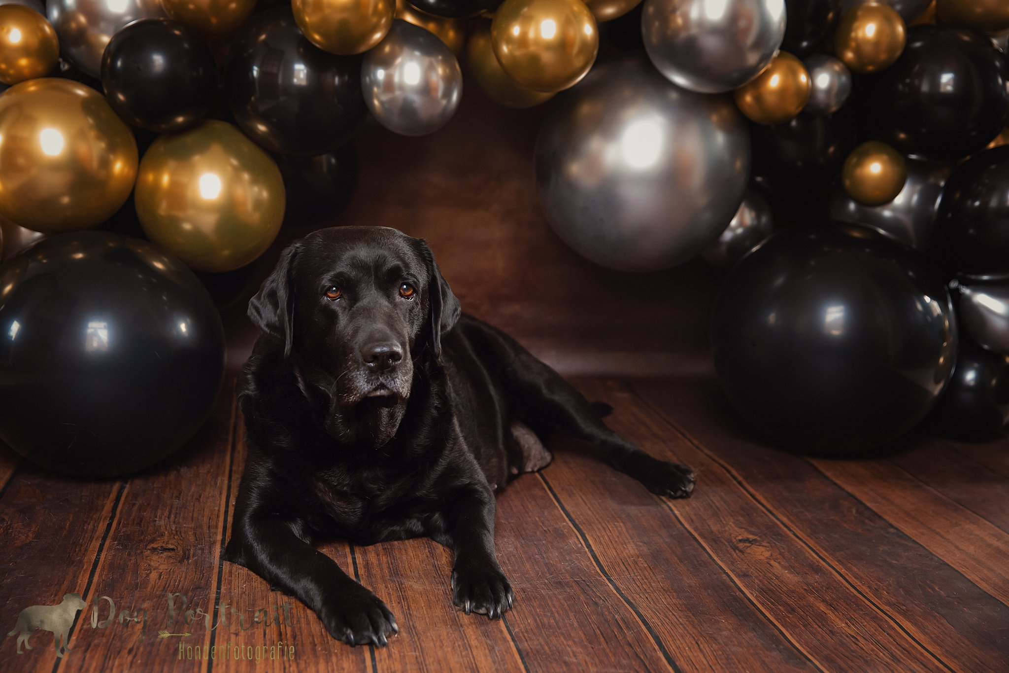 Hondenfotograaf Ooltgensplaat - Doggy Birthday Labradors Balou en Juno