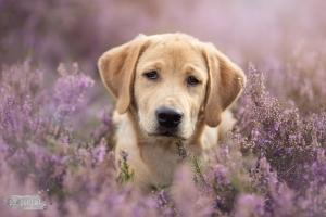 Hondenfotograaf-Bussum-Labradors-op-de-heide-4