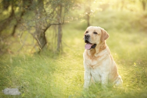 Hondenfotograaf-Wassenaar-Labradors-Yellow-en-Kira-2