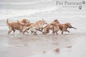 Hondenfotografie-Wassenaar-Fotoshoot-Golden-retrievers-15