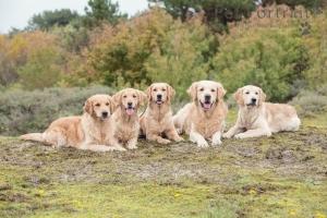 Hondenfotografie-Wassenaar-Fotoshoot-Golden-retrievers-2