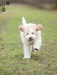 Hondenfotograaf Noordwijk - Lagotto Romagnolo pup Whisky