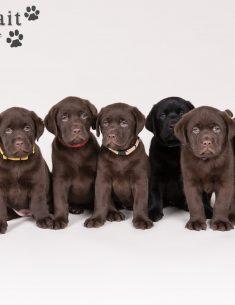 Hondenfotograaf Hillegom - Nestfotoshoot voor Labrador retriever pups