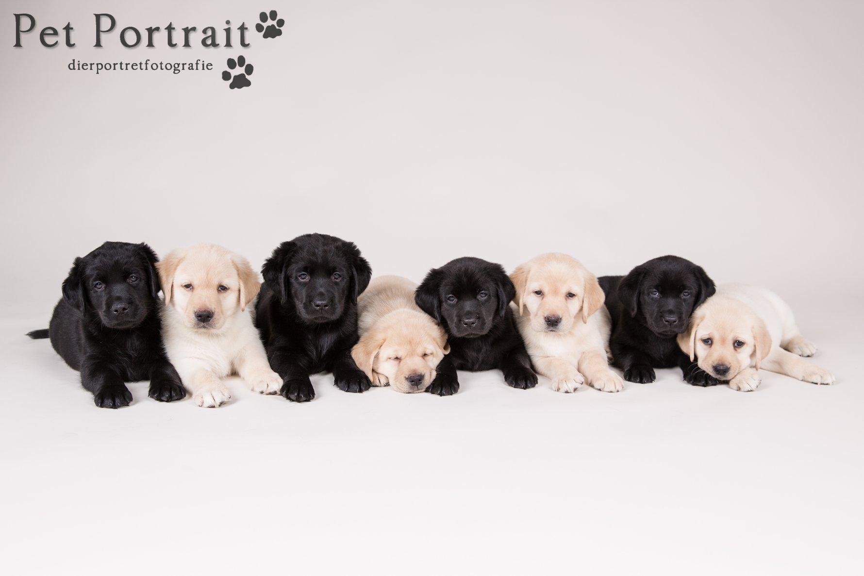 Hondenfotograaf Hillegom - Nestfotoshoot Labrador retriever pups