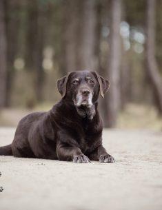 Hondenfotograaf Wassenaar - Labrador Apple