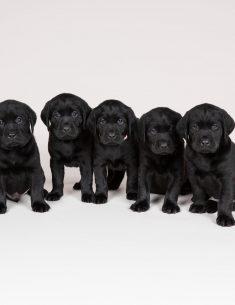 Hondenfotograaf Hillegom - Nestfotoshoot Labrador pups