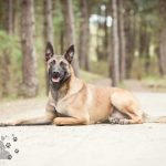 Hondenfotograaf Wassenaar - Mechelse Herder Jack