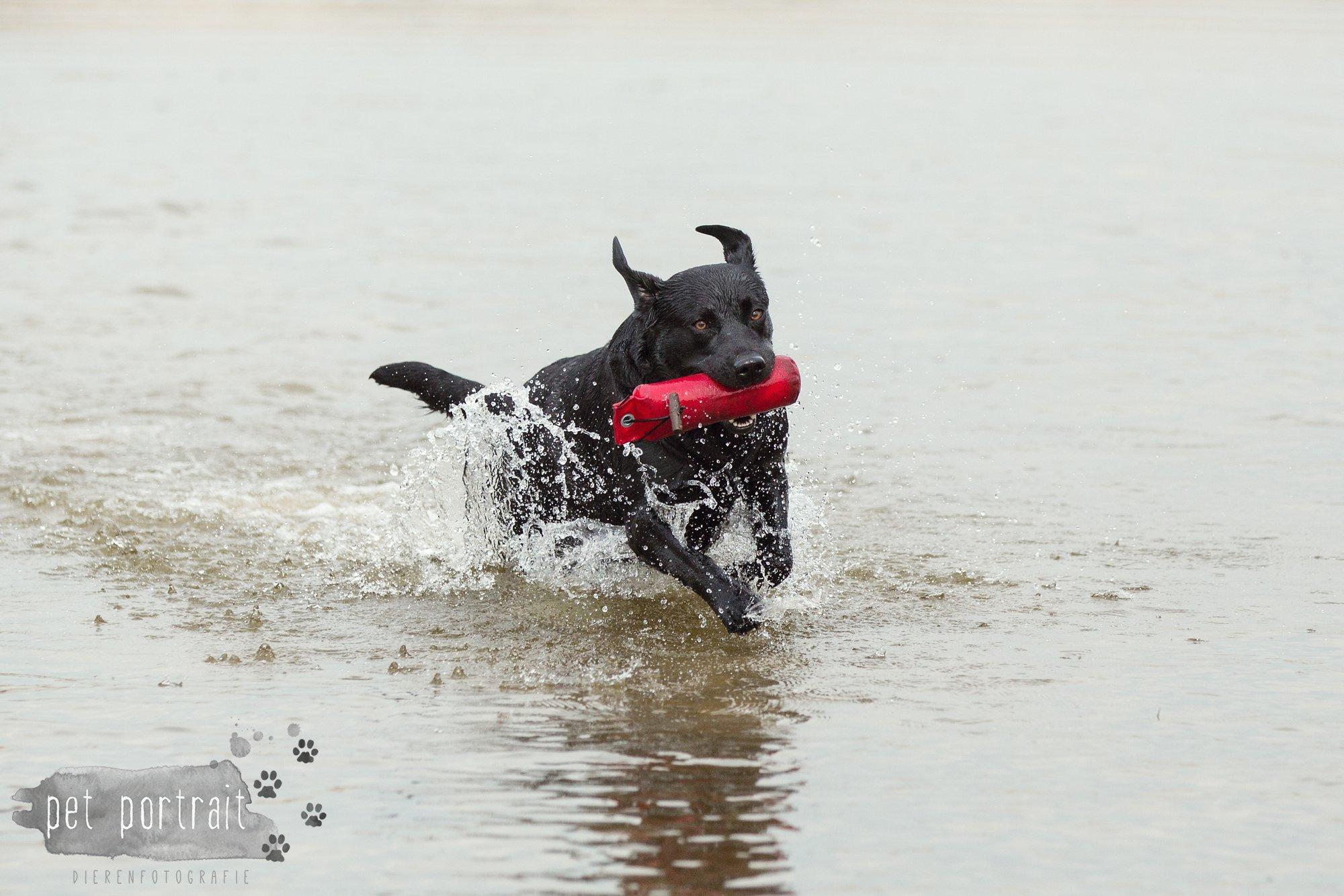 Hondenfotograaf Leiden - Labrador retrievers tijdens de jachttraining