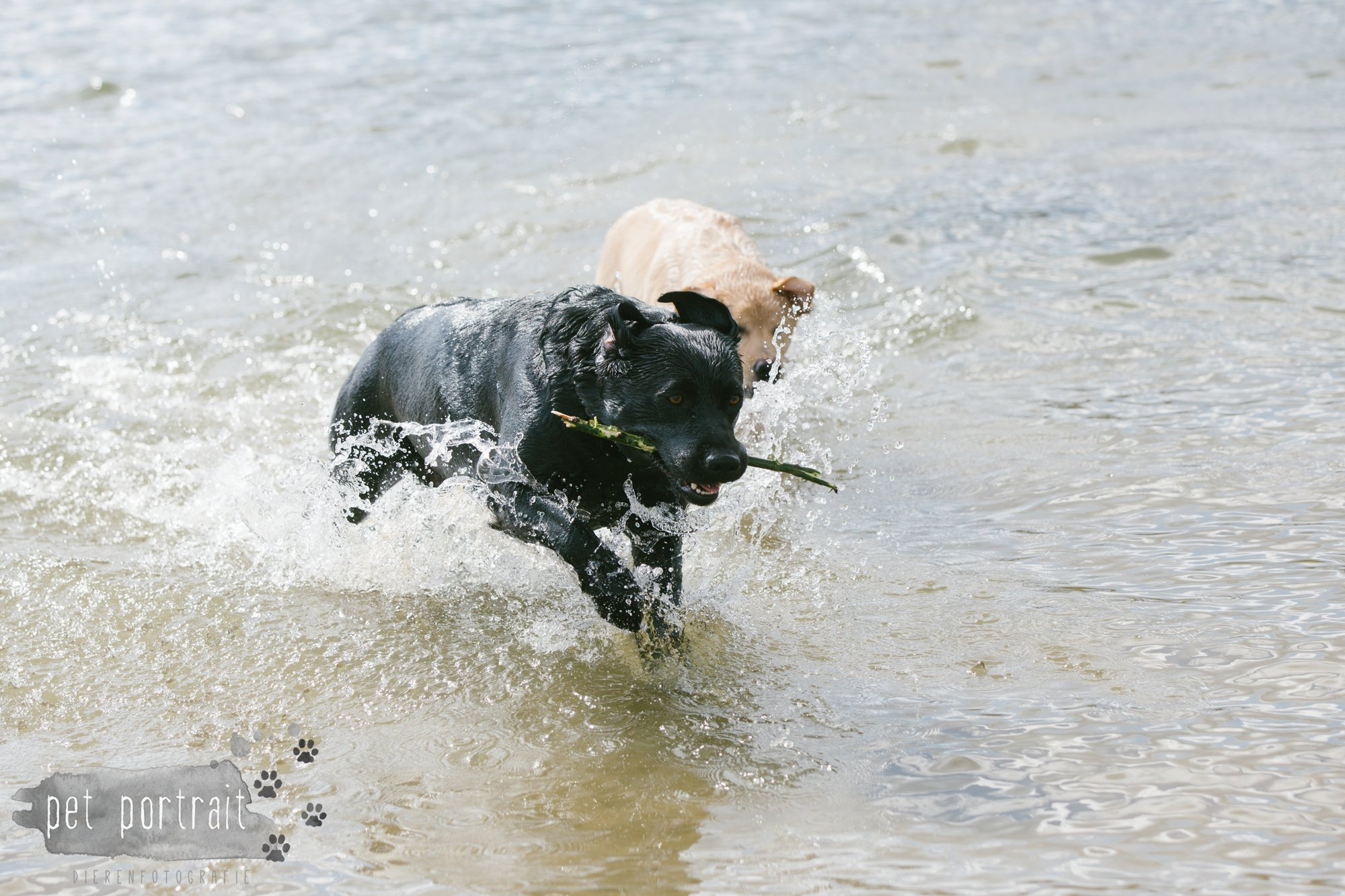 Hondenfotograaf Pet Portrait - Clubdag LKN - Waterpret met het nestje van Juno