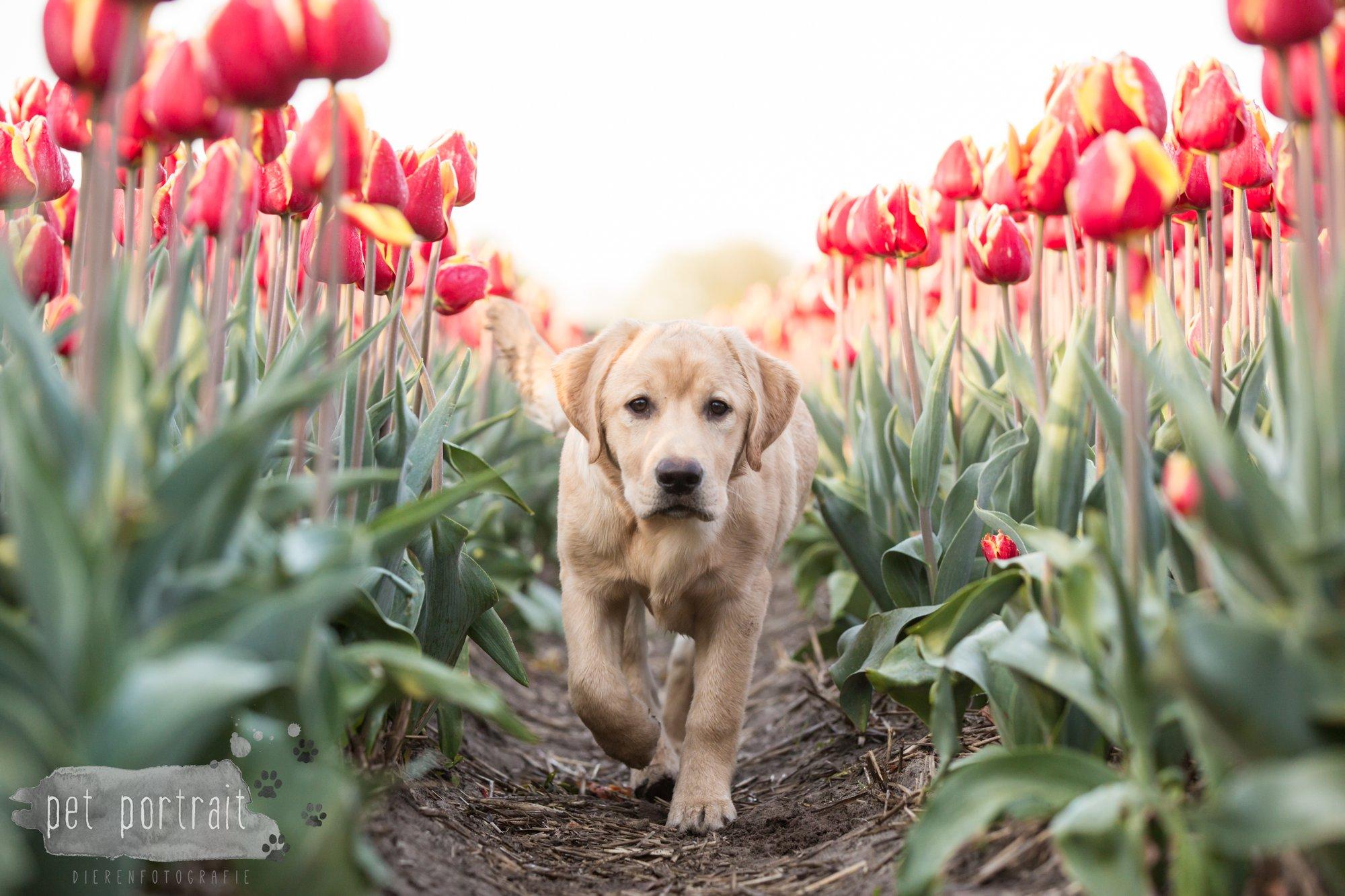 Hondenfotograaf Bollenstreek - Labradors tussen de tulpen