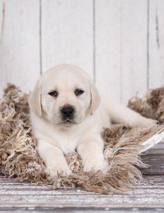 Hondenfotograaf Hillegom - Nestfotoshoot voor Labrador pups