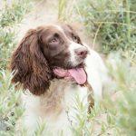 Hondenfotograaf Noordwijk - Springer Spaniel en Kooikerhondje