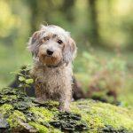 Hondenfotograaf Heemstede - Dwergteckel Jet