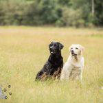 Hondenfotograaf Noordwijk - Twee Labrador retrievers en een kitten