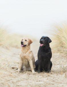 Hondenfotograaf Wassenaar - Labradors op het strand