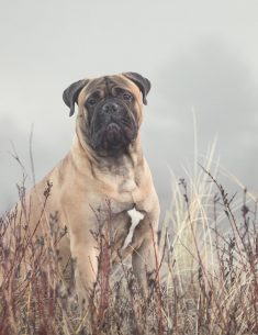 Hondenfotograaf Wassenaar - Bull Mastiff Beer