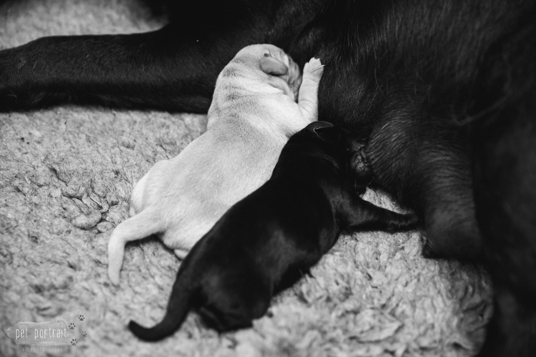 Hondenfotograaf Leiden – Geboortereportage Labrador pups