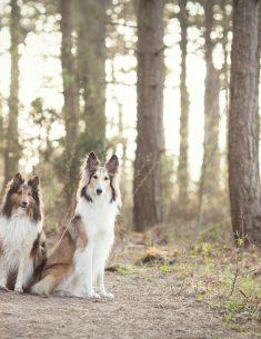 Hondenfotograaf Wassenaar - Sheltie en Schotse Collie