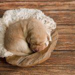 Hondenfotograaf Leiden - Puppy Newborn fotoshoot