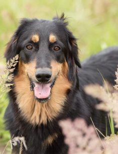 Hondenfotograaf Noordwijk - Groei mee sessie 3 voor Hovawart Sam