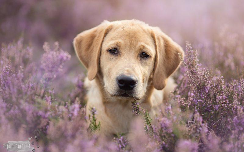 Hondenfotograaf Bussum - Labradors op de heide