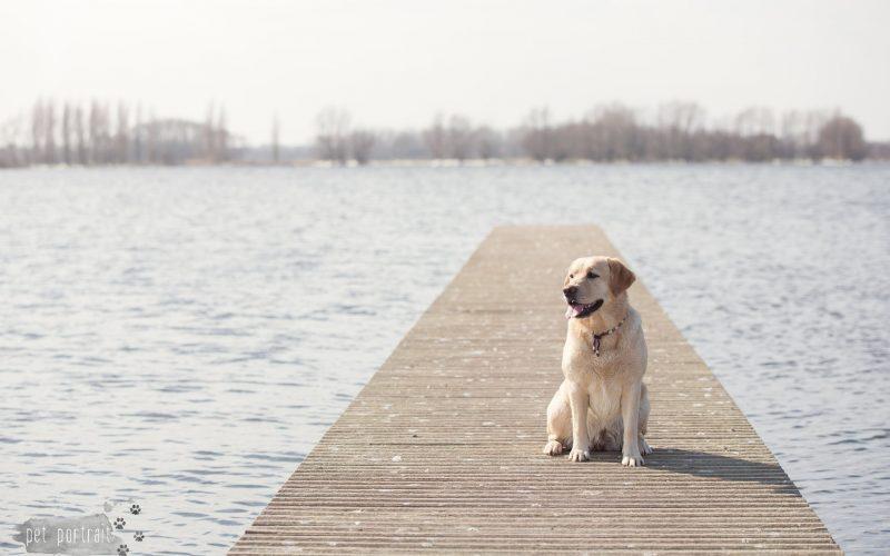Hondenfotograaf Leiden - Labradors Juno, Freyja en Skadi - week 11