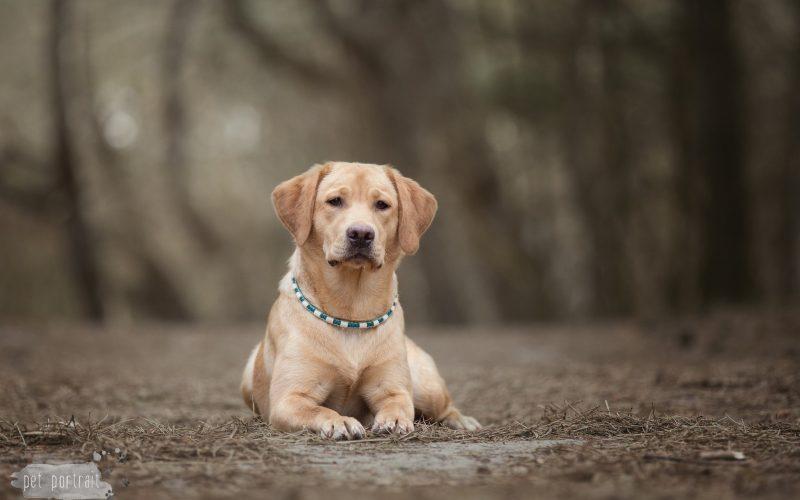 Hondenfotograaf Leiden - Labradors Juno, Freyja en Skadi - week 9