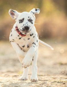 Hondenfotograaf Bergen op Zoom - Dalmatiër Benthe